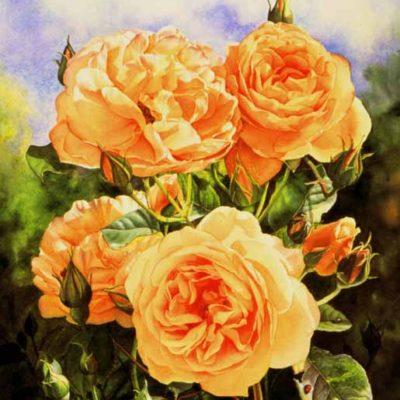 David Austin rose Graham Thomas